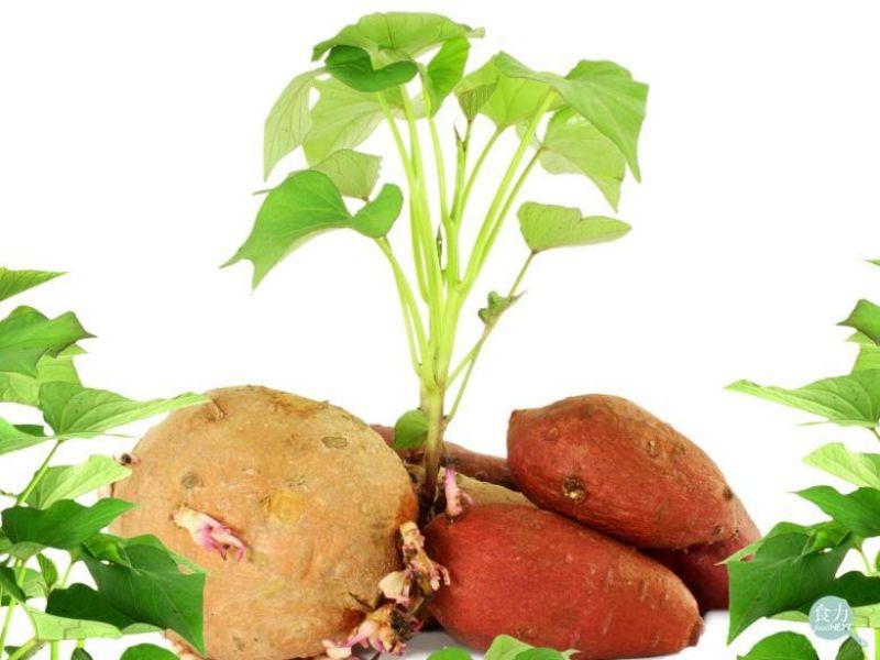 為何馬鈴薯發芽不能吃,地瓜發芽卻能吃?